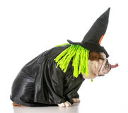 Dog witch Stock Images
