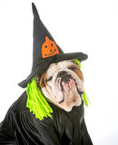 Dog witch Stock Photography