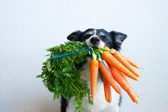 Free Dog With Bunch Of Carrots In Mouth. Cute Black And White Border Collie Stock Photos - 175721533