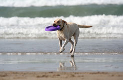 Free Dog With Disc Stock Images - 1489424