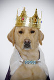 Dog With Kings Crown Royalty Free Stock Photo