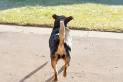 Free Dog With Raised Tail. Back Of The Dog With A Visible Rump Stock Photos - 144937103