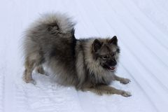 Dog of the Wolf Spitz breed plays on the snow. Dog of the breed Keeshond, Wolfspitz winter in the snow play stock photos