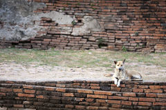 Dog - Wolfdog Resting on Brick Wall. Dog - Wolfdog Resting on Ancient Brick Wall royalty free stock image