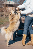 Dog and woman royalty free stock images