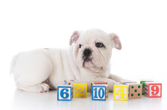 dog with wooden blocks Stock Photo