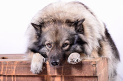 Dog on wooden chest keeshond. Dog on wooden chest in the photo studio royalty free stock photo
