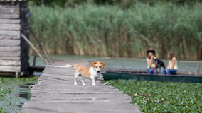 Dog on wooden dock Royalty Free Stock Images