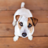 Dog at on wooden floor. Copy space. Pet looking up Stock Images