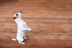 Dog at on wooden floor. Copy space. Training Pet Royalty Free Stock Image