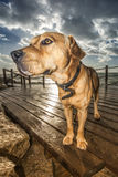Dog on wooden pier Royalty Free Stock Photo