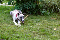 Dog with wooden stick in park Stock Image