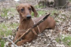 Dog with wooden stick Stock Photo