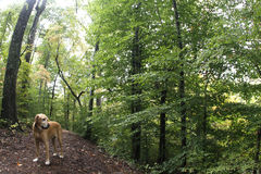 Dog in woods Stock Photography