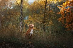 The dog in the woods . Autumn mood.Pet on nature. Nova Scotia duck tolling Retriever, Toller stock images