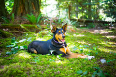 Dog in the woods stock image
