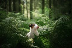 The dog in the woods. Jack Russell Terrier in the fern. little pet in nature. The dog in the woods. Jack Russell Terrier in the fern. Cute little pet in nature royalty free stock image