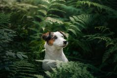 The dog in the woods. Jack Russell Terrier in the fern. little pet in nature. The dog in the woods. Jack Russell Terrier in the fern. Cute little pet in nature stock image