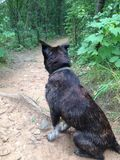 Dog in the woods. Looking down a trail Royalty Free Stock Photography
