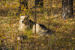 The dog in the woods royalty free stock images