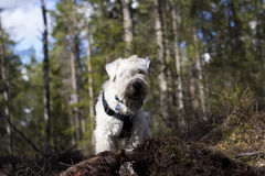 Dog in the woods. Wheaten terrier happy in the woods Stock Photography