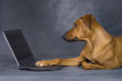 Dog surfing the network. A beautiful young brown rhodesian ridgeback is using a computer. He is lying in front of the laptop and surfing in the network stock images