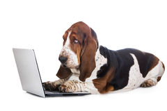 Dog working on a computer. Basset hound dog on white background Stock Photo