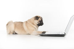Dog working at the computer. Side view of funny dog using computer while on white stock photos