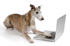 Dog working on laptop. Whippet dog working on laptop royalty free stock photos