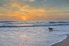 The dog is worried about the surfer owner. Royalty Free Stock Images