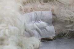 Dog wound after operation. Dog surgery wound after operation Stock Images