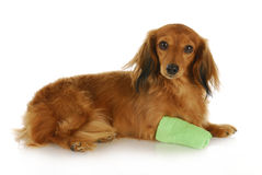 Dog with wounded paw Stock Photos