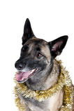 Dog Wrapped in Gold Holiday Tinsel Stock Images