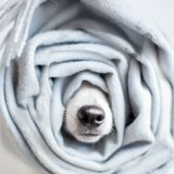Dog wrapped in a scarf. Pet warms under a blanket in cold winter weather Stock Photo