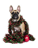 Dog Wrapped Up in Holiday Tinsel Royalty Free Stock Images