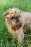 Dog  with a wreath of daisies Stock Photography