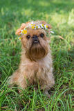 Dog  with a wreath of daisies Stock Photos
