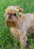 Dog  with a wreath of daisies Royalty Free Stock Image