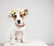 Dog with a wreath of daisies on her head Stock Photo
