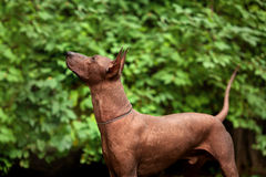 Dog of Xoloitzcuintli breed, mexican hairless dog standing outdoors on summer day Stock Image