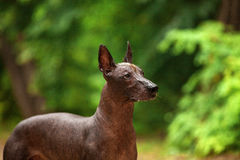 Dog of Xoloitzcuintli breed, mexican hairless dog standing outdoors on summer day Royalty Free Stock Images