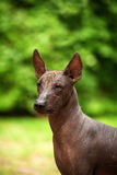 Dog of Xoloitzcuintli breed, mexican hairless dog standing outdoors on summer day Royalty Free Stock Photos