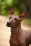 Dog of Xoloitzcuintli breed, mexican hairless dog standing outdoors on summer day Stock Images