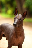 Dog of Xoloitzcuintli breed, mexican hairless dog standing outdoors on summer day Stock Photos