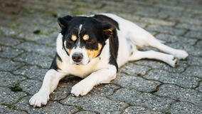 Dog Is In Yard, Exhausted From Summer Heat Stock Photography