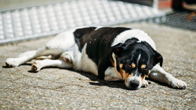 Dog Is In Yard, Exhausted From Summer Heat Stock Image