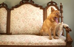 Dog yawning Stock Image