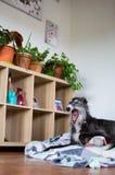 Dog yawning inside a house royalty free stock images
