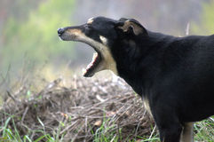Dog yawning Royalty Free Stock Image