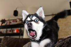 Dog yawning. Dog stretching out and yawning stock photo